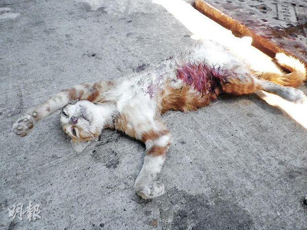 遭虐殺的流浪貓「金毛」,被發現時腹部滲出鮮血,奄奄一息,經獸醫搶救後不治。(資料圖片)