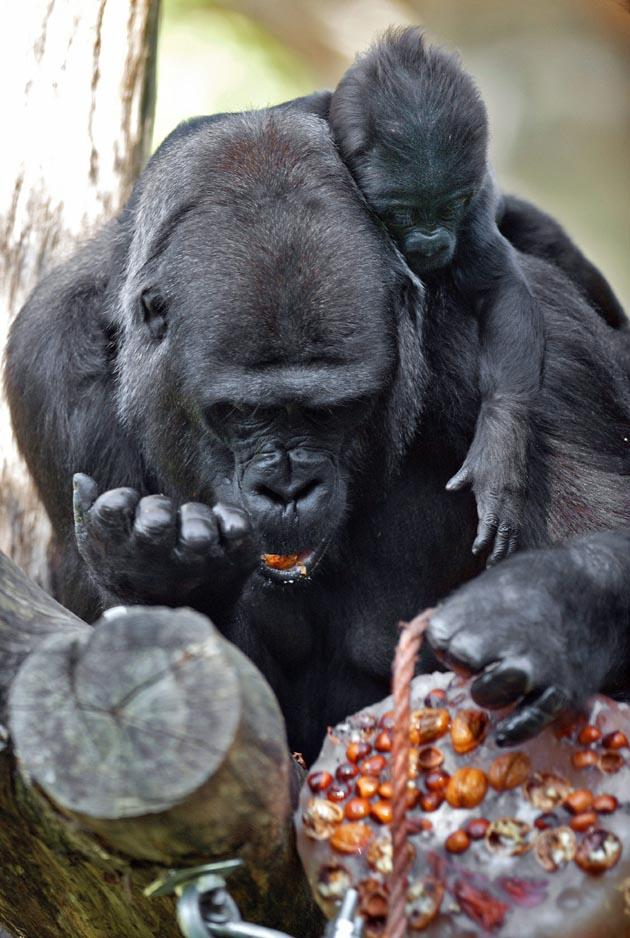 Gorillas feast on a lump of ice filled with fruit, vegetables and nuts in Artis Zoo in Amsterdam, Netherlands, 30 September 2011. EPA PHOTO.