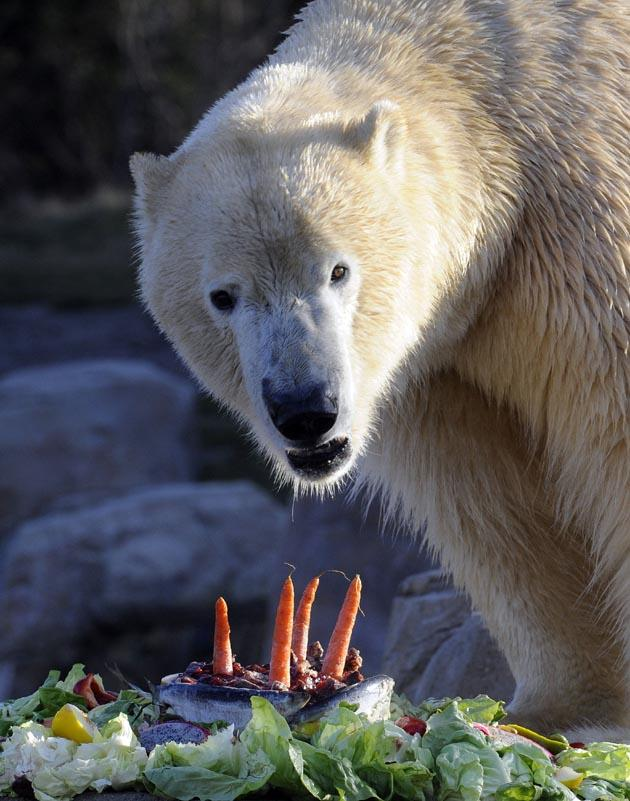 Polar bear Arktos enjoys an ice cake made of fish and vegetables he was given for his fourth birthday on November 28, 2011. AFP PHOTO.