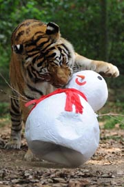 A Siberian tiger bites a paper-made snowman given by the staff as a Christmas present on December 21, 2011 in Sao Paulo, Brazil.AFP PHOTO