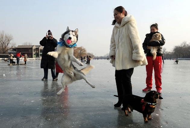 Husky dog Hali catchs a ball as he enjoys a day on an ice lake during the Lunar New Year holiday at the start of the 'Year of the Dragon' in Beijing on January 27, 2012. AFP Photo