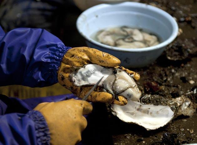 An aqua farmer shells an oyster harvested off tsunami-devastated fishing port town of Yamada, northern Japan, 15 February 2012. EPA Photo