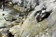 A file picture taken on 19 April 2011, shows a once featherless Humboldt penguin (right) reacting on the rocks in the enclosure at the Jurong Bird Park in Singapore. AFP Photo