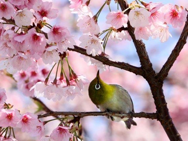A bird sat on a branch of a blooming cherry tree at a park in Tokyo on 1 April, 2012. AFP Photo
