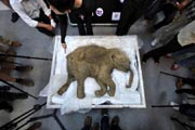 The carcass of the world's most well-preserved baby mammoth, named Lyuba, was displayed in Hong Kong on April 10, 2012. AFP Photo