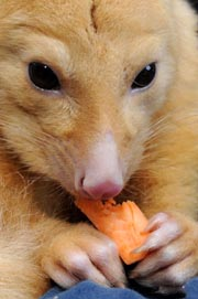 A rare gold brushtail possum ate carrots while displayed by wildlife personnel at Martin Place public square in Sydney's central district as Australia's zoo and aquarium association celebrated the National Threatened Species Day on September 7, 2012. AFP Photo