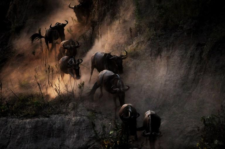 A herd of Wildebeest dashed down an embankment of the Mara River on their way to rush the waters of the river during the annual migration through the Massai Mara National park in Western Kenya on August 15, 2008. AFP Photo