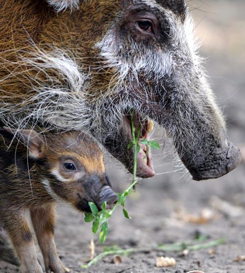 A kind of hog - red river hog (AFP Photo)