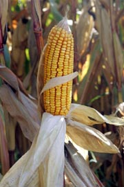 A corncob is the part of a corn plant on which the yellow seeds grow (AFP Photo)