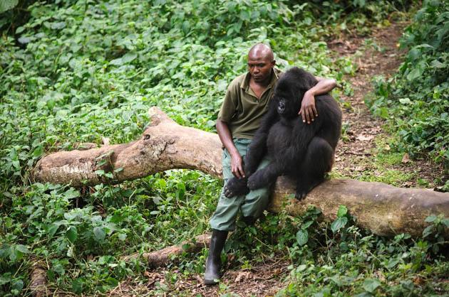 A warden at the Virunga National Park, sat with an orphaned mountain gorilla in the gorilla sanctuary in the park headquarters at Rumangabo in the east of the Democratic Republic of the Congo on July 17, 2012. (AFP Photo)