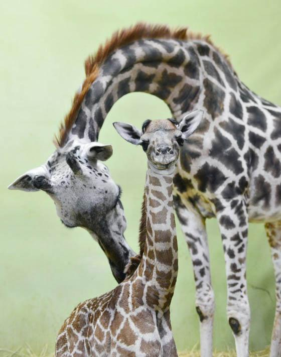 This handout photo taken on September 8, 2013 shows 27 years old giraffe and her 18th baby giraffe at the Everland amusement and animal park in Yongin, south of Seoul, South Korea. (AFP Photo/The Everland)