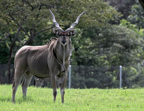 "A giant Eland watched ""Africa Mia"" zoo visitors in a province, some 200 km north of San Jose, Costa Rica, on June 26, 2007. (AFP Photo)"