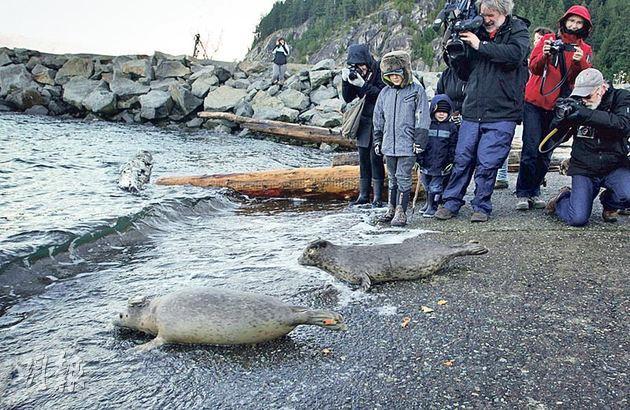圖為保育團體上周三在加拿大將獲救的海豹放回大海。