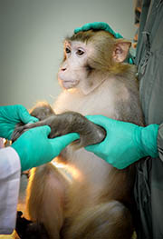 Researchers examined the physiological index of experimental monkey No. 031137 at Guangzhou Institute of Biomedicine and Health of Chinese Academy of Sciences in Guangzhou on Nov 13 2013. (Xinhua Photo)