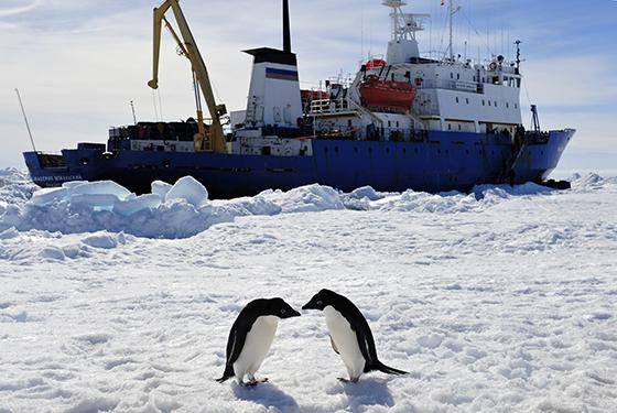 Two penguins played in front of the trapped Russian vessel on Jan 2, 2014. (Xinhua Photo)