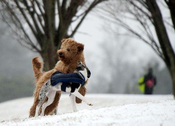 Two dogs played in an icy Candler Park as people turned out to go sledding on February 12, 2014 in Atlanta, Georgia, USA. (AFP Photo)