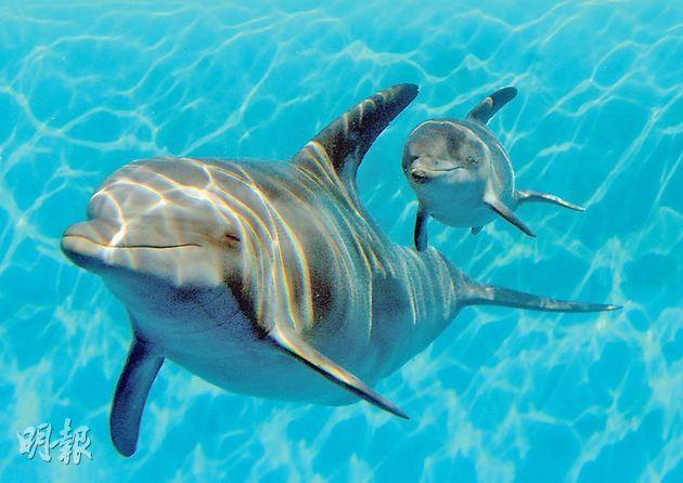 美軍擬用海豚作軍事用途,牽涉道德問題。