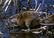 A muskrat (Photo from U.S. Fish and Wildlife Service)