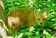 A red fox (Photo from U.S. Fish and Wildlife Service)