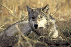 A gray wolf (Photo from U.S. Fish and Wildlife Service)
