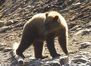 A bear (Photo from U.S. Fish and Wildlife Service)