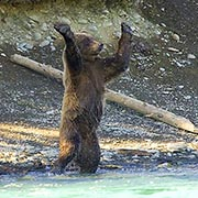 A bear standing up (Photo from U.S. Fish and Wildlife Service)