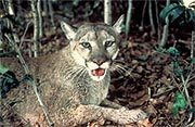 A Forida Panther (Photo from U.S. Fish and Wildlife Service)