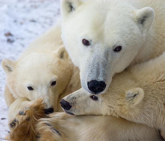 A file picture taken in November, 2007 shows a mother polar bear resting on the frozen tundra with her cubs waiting for the Hudson Bay to freeze over outside Churchill, Manitoba, Canada. (AFP Photo)