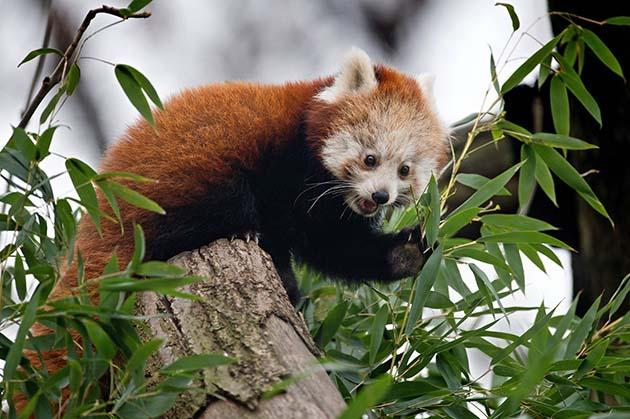 "Red Panda male cub ""Bambo"" ate bamboo in his enclosure at the zoo in Dresden, eastern Germany on December 5, 2014. The animal was born on July 12, 2014. (AFP Photo)"