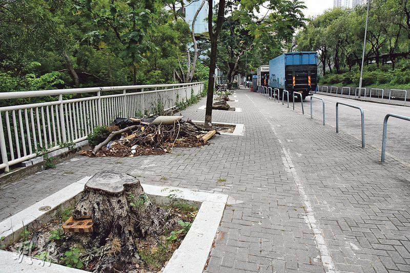 近日本報發現觀塘曉明街遊樂場對開有7棵樹被斬,樹木專家詹培勇看過有關圖片後,估計當局想擴大樹穴,故先斬走不健康的樹木,然後再種植新樹。(林智傑攝)