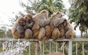 猴子在俗稱「馬騮山」的金山郊野公園長年佔山為王,得享「自由」;反觀兔子,因為外形可愛,有時成為送禮「佳品」,從此困在籠中。