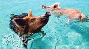 巴哈馬「豬島」上的豬相信由居民引入,因喜歡游泳和接近遊客而聞名。(網上圖片)