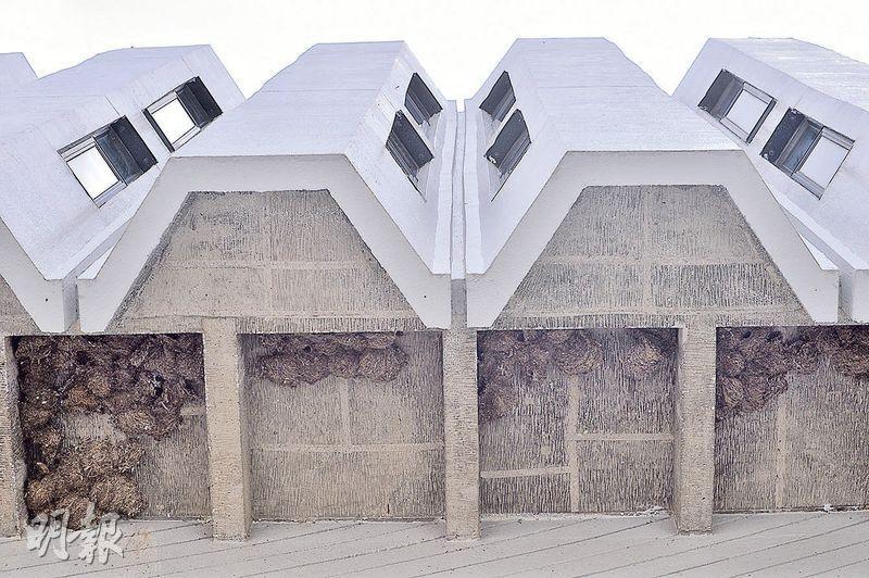 中大圖書館8年前擴建,令小白腰雨燕家園受威脅。記者日前到場,見圖書館屋簷下有不少燕群及鳥巢(圖)。中大方面表示,圖書館新翼採用「鳥性化」設計,除造人工鳥巢,選料上亦花心思,又做幕牆玻璃測試以防鳥撞。(馮凱鍵攝)