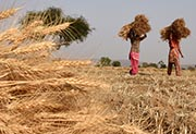 A wheat field (AFP Photo)