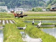 日本豊岡市經逾30年努力,說服農民以有機方式耕作,不但成功復育東方白鸛,亦提高了「東方白鸛米」的知名度及銷量,香港觀鳥會認為本港保育禾花雀可借鑑當地經驗。(豊岡市政府提供)