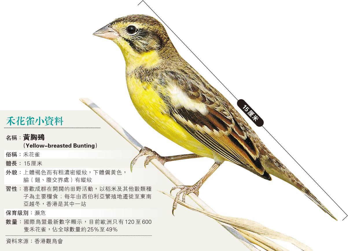過去13年,禾花雀的保育級別已升了3級,由「無危」升至「瀕危」,反映數量不斷下降,若到今年底再升一級至「極度瀕危」,即顯示該物種面臨絕種危機。(Simon Chan攝/香港觀鳥會提供)
