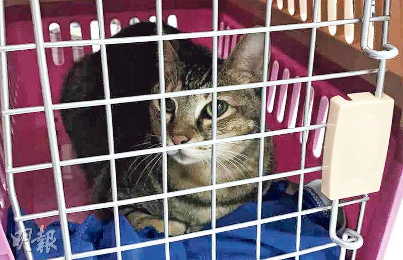 店長貓「波子」因不肯進食及情緒低落,昨日需要在獸醫診所過夜接受觀察。(藥房洪先生提供)