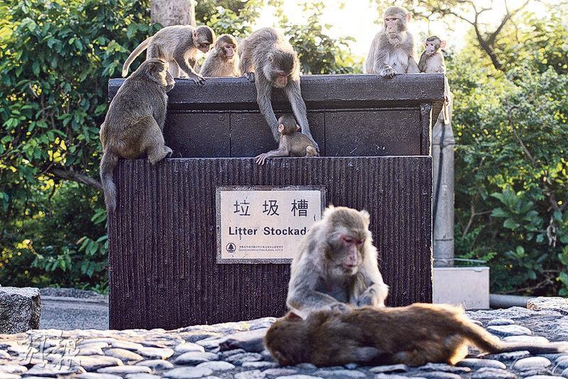 猴子經常亂翻垃圾桶,漁護署設計了一款新垃圾桶,杜絕猴子亂翻。(圖:資料圖片)