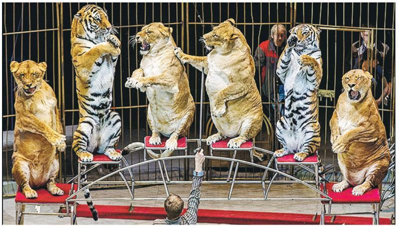 海參崴馬戲團的多頭母獅身材肥碩,引起虐待動物的質疑。馴獸師斯回應稱,獅子變胖是因為牠們年老。(網上圖片)