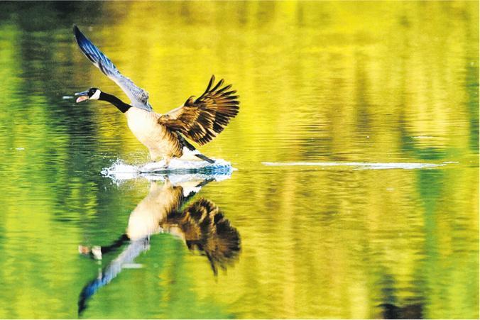 除了是航天學者,獲推薦接任科大校長的史維亦是攝影高手,愛好雀鳥攝影,其鏡頭下的雀鳥充滿故事,圖中湖水倒映山色,一隻水鳥擦過水面,泛起漣漪。(科大提供)