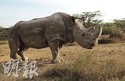 雄性北非白犀牛「蘇丹」