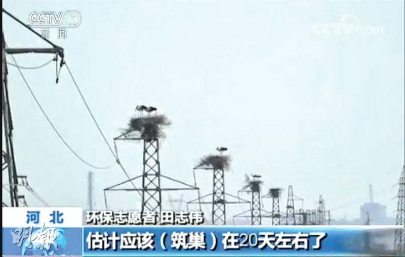 東方白鸛在河北唐山市豐南區繁衍,但均在電線杆上築巢。(網上圖片)