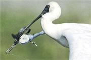 香港觀鳥會於今年1月22日在南生圍以北的甩洲,發現一隻黑臉琵鷺遭捕獸器夾着鳥喙,其後數天沒再發現其蹤影,相信那隻黑臉琵鷺已凶多吉少。(Simon Chan攝/香港觀鳥會提供)