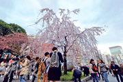 赴日遊客近年節節上升,遊客不時「爆買」。圖為日本東京櫻花近日盛開,吸引大量遊客。(法新社)
