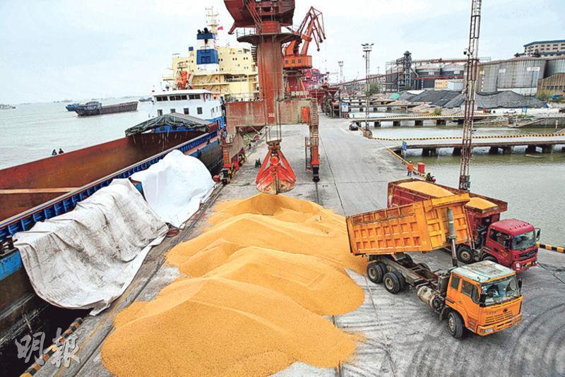 中美近日各自公布加徵關稅的產品清單,其中中國將美國大豆列入加徵關稅商品,被視為針對要害。圖為江蘇南通港口的工人前日將進口大豆裝上卡車。(法新社)