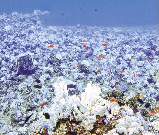 港大研究加勒比海的珊瑚,發現當海水溫度上升,與珊瑚共生的蟲黃藻變得「貪婪」,把製造出的糖和蛋白質留為己用,拒絕與珊瑚分享,珊瑚又因水溫上升而燃燒更多能量,最後耗盡養分死亡。圖為2015年沙特阿拉伯紅海Farasan島岸部分珊瑚出現白化。(Till Rothig攝/港大太古海洋科學研究所提供)