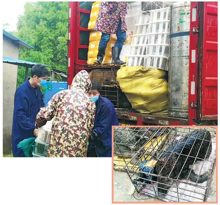 當局截獲可疑貨車後,立即卸貨及清點車上野生動物數量及品類,當中包括野豬(右圖)、豪豬、斑鳩、綠翅鴨、果子貍、眼鏡蛇等。(網上圖片)