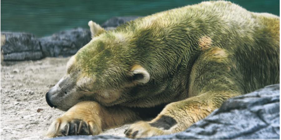 首頭在熱帶地區出生北極熊伊奴卡,因年老健康惡化,新加坡動物園昨日對牠施以安樂死,享年27歲。圖為伊奴卡本月13日照片。(新華社)
