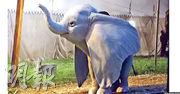 《小飛象》真人版電影的主角造型,真的栩栩如生。