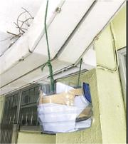 浸信會天虹小學有斑鳩築巢孵蛋,校方請咗高小同學仔幫助呢個「住客」。佢哋用大水樽製作一個裝置,用嚟盛載雀鳥糞便,以免整污糟走廊,影響衛生。(網上圖片)